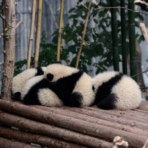 Sleepy Panda Babies , Chengu China
