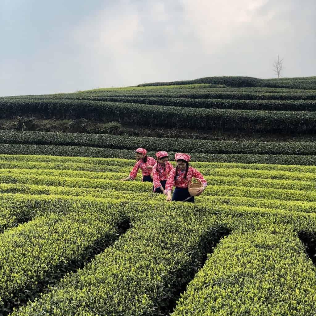 pujiang-tea-f09f8db5-trip-f09f9a85-1024x1024 #Pujiang #Tea 🍵 Trip 🚅 #travel #Sichuan #China